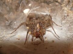 Sump Spider SOOC taken with a Panasonic FZ28 using a Raynox DCR-250 macro lens Full Size (Ted_Roger_Karson) Tags: raynox raynoxdcr250 handheldcamera macrolife panasoniclumixdmcfz28