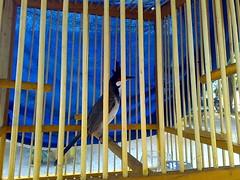 นกกรงหัวจุกเส  ียงเพราะเชียว