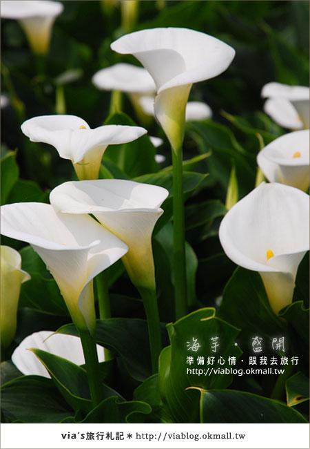 【2010竹子湖海芋季】陽明山竹子湖海芋季~海芋盛開囉!18