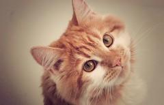 [フリー画像] [動物写真] [哺乳類] [ネコ科] [猫/ネコ] [チャトラ]      [フリー素材]