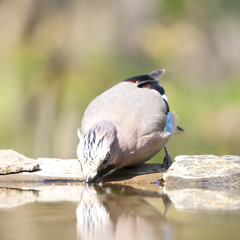 The Eurasian Jay (Garrulus glandarius) (frankps) Tags: eurasianjay garrulusglandarius eichelhäher nøtteskrike pusztaszer szajkó hidephotography skrækskaði