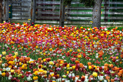 Colorful Tulip Field (mctuba) Tags: nature field colorful tulip
