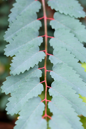 sticks of blood leaf