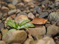first green (michaelmueller410) Tags: winter steine stones harz bachbett söse blatt leav leaves leaf dof natur kiesel