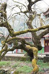 DSC_1223 (chenjn) Tags: d600 nikon 2470mm 妖怪村 柳家梅園 taiwan 信義鄉 梅花