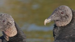 2017-02-02 Beauty is in the eye of the beholder - Happy Valentine's Day (Tara Tanaka Digiscoped Photography) Tags: gh4 bird romance valentinesday 4k blackvulture manualfocus