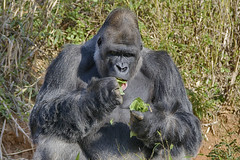 leaf eater (ucumari photography) Tags: ucumariphotography riverbankszoo sc south carolina columbia february 2017 westernlowland gorilla animal mammal dsc6828