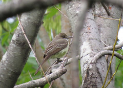 Swainson's Flycatcher (tedell) Tags: swainsons flycatcher reserva ecologica vicente lopez buenos aires argentina january 2017