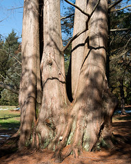 Metasequoia glyptostroboides (Dawn Redwood) (Plant Image Library) Tags: arnold arboretum winter february 2017 plants metasequoiaglyptostroboides dawnredwood cupressaceae 348a stem trunk bark