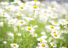 Daisy © Glenn Waters Japan. Over 24,000 visits to this photo. Thank you. (Glenn Waters ぐれんin Japan.) Tags: flowers beautiful japan fog happy 50mm nikon bokeh dream explore daisy hirosaki 花 japon 青森 f12 弘前 explored ニコン d700 nikond700 bokehwednesday ぐれん nikkor50mmaisf12 glennwaters