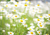 Daisy © Glenn Waters Japan. Over 22,000 visits to this photo. Thank you. (Glenn Waters ぐれんin Japan.) Tags: flowers beautiful japan fog happy 50mm nikon bokeh dream explore daisy hirosaki 花 japon 青森 f12 弘前 explored ニコン d700 nikond700 bokehwednesday ぐれん nikkor50mmaisf12 glennwaters