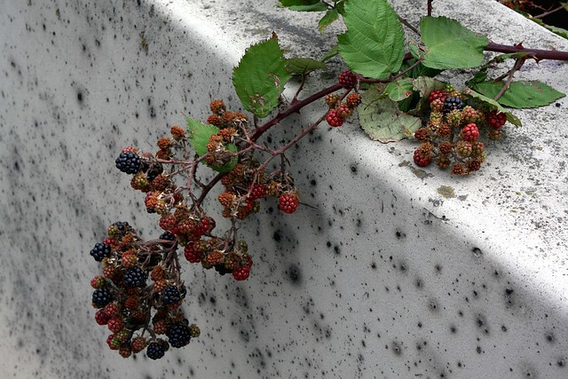 Blackberries, Marquam Bridge