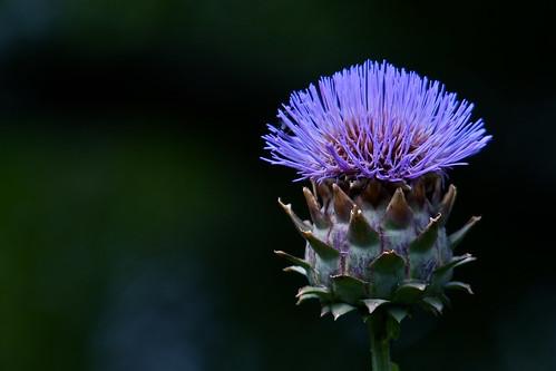 フリー画像| 花/フラワー| アザミ| パープル/花|        フリー素材|