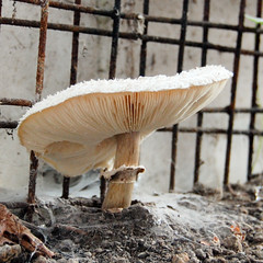 What a difference a day makes... (baz_baziah) Tags: mushroom dad greenhouse toadstool