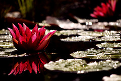 In the evening ... (C.Ekholm) Tags: red nature water garden waterlilies pound
