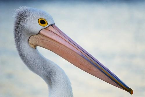 フリー画像| 動物写真| 鳥類| 野鳥| ペリカン|       フリー素材|