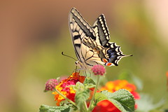 Another one butterfly (Theophilos) Tags: flowers nature colors butterfly insect greece