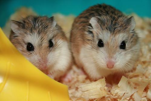 hamstersx
