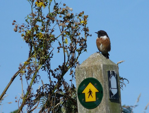11499 - Stonechat at Strumble Head