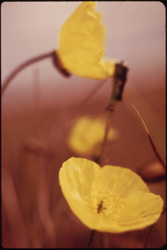 Northern Buttercups, Very Common Wildflower Found Along the Entire Route in Alpine and Arctic Areas 08/1973