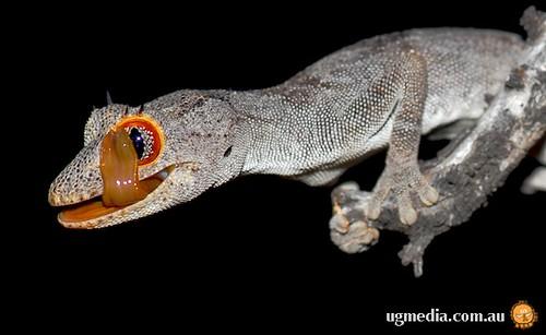 Northern spiny-tailed gecko (Strophurus ciliaris aberrans)