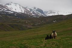 Brnavk, Iceland (Xindaan) Tags: nature landscape geotagged island iceland islandia nikon europe sheep natur 85mm nikkor rhyolite f8 2009 sland islande schafe islanda d300 1685 brnavk bakkageri bakkagerdi rhyolit liparit 1685mm 1685mmf3556gvr afs1685mm liparite geitfell brunavik geo:lat=6552768883 geo:lon=1369152553