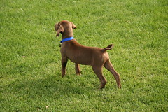 Good Boy Striking a Pose (Palmer Digital Studio) Tags: dog pet baby brown home halloween puppy toy mix day dancing chocolate tag first vizsla canine queen weimaraner german chew bandana pooch abba hungarian