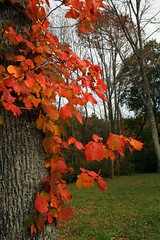 Red Leaves (Read2me) Tags: autumn tree leaves leaf gamewinner challengeyouwinner thechallengefactory agcgwinner anythinggoeschallengewinner superherochallengewinner storybookwinner storybookchallengegroupotr pregamewinner challengeclubwinner