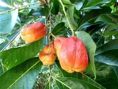 PA182592 (CCFoodTravel.com) Tags: fruits we what exotica