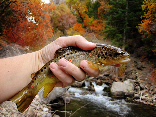 german brown in trout and af colors autumn