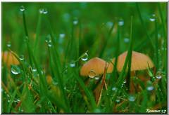 The Magical World of a Shroom (Roamer 57 (Not Around Much)) Tags: theworldwelivein flickraward mothernatureaward natureselegantshots waterdropsmacros nikonflickraward vosplusbellesphotos selectbestexcellence sbfmasterpiece grasswaterdropletsfungimushroomtoadstoolnatureautumn