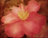 Oh, Camelia! (SLEEC Photos/Suzanne) Tags: flower texture floral action bloom camelia legacy japonica itg fantasticflower mywinners worldbest memoriesbook overtheexcellence floralessence theperfectphotographer goldstaraward artistictreasurechest miasbest betharmsheimertexture magicunicornverybest texturebyterry florabellafinearttextures magicunicornmasterpiece sailsevenseas trolledproud soulfulaction newgoldenseal imagofabulae flypapertexture