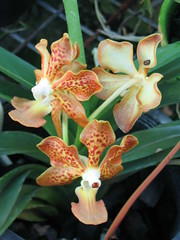 ASCDA CANNY GOLD x insignis (A)
