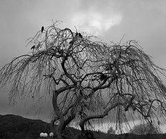 An eccentric tree, with birds (Explore) (Lune Rambler) Tags: trees sky bw cloud black tree nature birds clouds grey blackwhite nationalpark skies bare branches lakes lakedistrict cumbria eccentric 1001nights twisted atmospheric ambleside blackdiamond thegalaxy abigfave theunforgettablepictures platinumheartaward goldstaraward flickrestrellas saariysqualitypictures monochromeaward platinumbestshot lunerambler 1001nightsmagiccity mygearandmepremium mygearandmebronze mygearandmesilver mygearandmegold mygearandmeplatinum mygearandmediamond skancheli