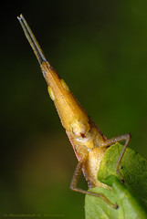 Cone-headed grasshopper (Rundstedt B. Rovillos) Tags: macro reverselens denr macrophotography pawb nikond200 nikkor1855mm reverselensadapter nikonsb400 diyflashdiffuser macrolife protectedareasandwildlifebureau napwc beautifulmonsters ninoyaquinoparksandwildlifecenter departmentofenvironmentandnaturalresources coneheadedlongheadedgrasshopper rundstedtbrovillos kentuckyfriedchickenplasticbucketlid diykfcflashdiffuser onehandmacroshootmethod kfcdiffuser