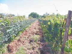 Bolivia: La vitivinicultura tarijeña se siente como vino añejo