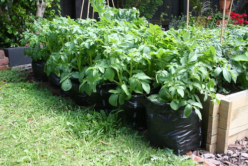 potatoes planted in grow-bags