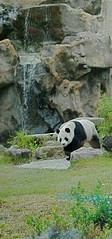 Tuan Tuan (TheBeesKnees85) Tags: blackandwhite art animal zoo nikon captured taiwan taipei endangered captive captivity rarespecies d3000 nikond3000 tuantuan,團團,臺灣,台北,台灣,白熊,panda