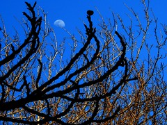 I love fantasy #1 (Tulay Emekli) Tags: blue trees sky moon black lune mixed branches luna fantasy twigs baretrees mixture complicated coolblue reachingforthemoon winterbranches moonbehindbranches