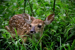 Fawn (Andrew Barshinger Photography) Tags: baby cute nature animal interesting deer fawn widelife