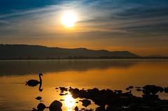 I give you all my gold (yarin.asanth) Tags: swan gold golden surface water sundown sunset yarinasanth gerdkozik bodensee höri mettnau switzerland zurich constance lake