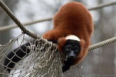 Red Ruffed Lemur (Bri_J) Tags: tropicalbutterflyhouse northanston sheffield southyorkshire uk butterflyhouse yorkshire nikon d7200 redruffedlemur lemur vareciarubra sigma150600mm