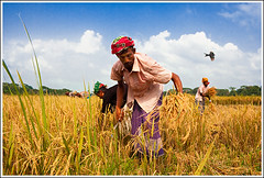 The season of rewards [..Narayanganj, Bangladesh..] (Catch the dream) Tags: bird field work happy golden flying workers rice paddy farmers action group grain harvest progress arena crop agriculture economy bangladesh harvester agricultural lowangle agro agronomy bardi economical finge narayanganj goldencrops barodi gettyimagesbangladeshq2