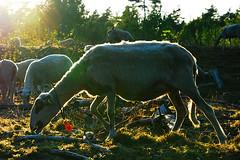 Beekhuizerzand (Arthur Koek) Tags: sheep flock thenetherlands herd harderwijk grazing veluwe gelderland beekhuizerzand schoonebeeker schaapskudde chrisgrinwis aafkeachterhof hetsoerel