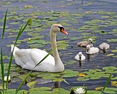 "FAMILY PAD (ddt_uul) Tags: summer baby white lake water swan lily michigan cygnet pad jol swa naturesfinest photographyrocks aplusphoto brillianteyejewel platinumheartaward ""flickraward"" ~~api~~"
