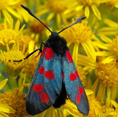 Moth 2 (mayaq) Tags: flowers colour macro nature yellow closeup wings moth finepix fujifilm pollen visualart westcork cinnabar beautifulphoto mayaq specinsect s1000fd beautifulmonsters physis