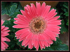 Gerbera jamesonii (Barberton/Transvaal/African Daisy) - pink flowers with brown central disk