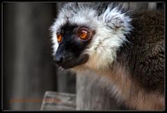 Peoplewatch (LETHO 2706) Tags: schweiz switzerland lemur lemure mammalian sugetier suiss masoalaregenwald zrichzoo whitefrontedbrownlemur bysne ashowoff weisskopfmaki