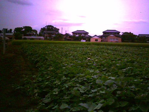サツマイモ畑にて