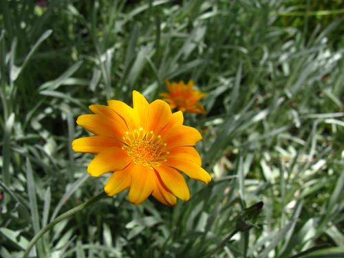 2009-08-01 garden; Senecio sp.